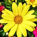 Yellow Daisies by Nadia Seme