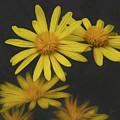 Yellow Daisy by Bruce Bouley