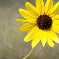 Yellow Daisy By Darrell Hutto by J Darrell Hutto