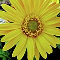 Yellow Daisy by D Hackett