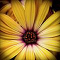 Yellow Daisy by David Patterson