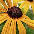 Yellow Daisy I by Michele Stoehr