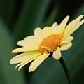 Yellow Daisy by Smilin Eyes  Treasures
