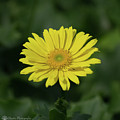 Yellow Daisy by Stephen Martin