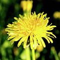 Yellow Dandelion Flower by Olga Olay