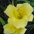 Yellow Daylilies by Tong Steinle