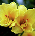 Yellow Daylilly 0204 H_2 by Steven Ward