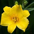 Yellow Daylily Flower by Christina Rollo