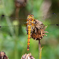 yellow Dragonfly by Pierre Leclerc Photography