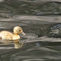 Yellow Duckling by Kristina Deane