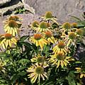 Yellow Echinacea, Straw Flowers Gray Stone Background 2 9132017  by David Frederick