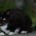 Yellow Eyed Cat by Carol  Eliassen