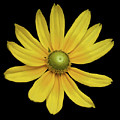 Yellow Eyed Daisy In Black by Sally Sperry