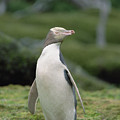 Yellow-eyed Penguin Albino by Konrad Wothe