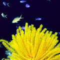 Yellow Feather Star by Ed Robinson - Printscapes