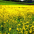 Yellow Field by Bill Cannon