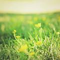 Yellow Fields by Heather Sesnowitz