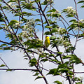 Yellow Finch And Flowers by William Tasker