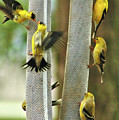 Yellow Finch Feeding Frenzy by W G Smith