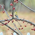 Yellow Finch In Crab Apple Tree by Lena Hatch