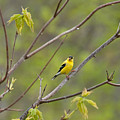 Yellow Finch In Spring by David Arment