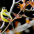 Yellow Finch by Pat Carosone