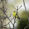 Yellow Finch by Wendy Fox