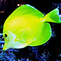 Yellow Fish by Colleen Kammerer