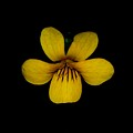 Yellow Flower 1 by David Lane