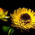 Yellow Flower 5 by Jijo George