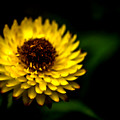 Yellow Flower 6 by Jijo George