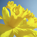 Yellow Flower Floral Daffodils Art Prints Spring Blue Sky Baslee Troutman by Baslee Troutman