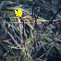 Yellow Flower In Dry Autumn Grass by Jozef Jankola
