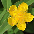 Yellow Flower by Kimberly Watt