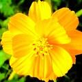 Yellow Flower On Black Background by Debra Lynch