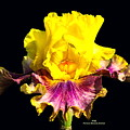 Yellow Flower On Black by Pamula Reeves-Barker
