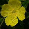 Yellow Flower by Raju Alagawadi