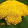 Yellow Flower by Robert Joseph