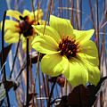 Yellow Flower  by Vincent Bonafede