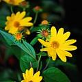 Yellow Flowers by Carol J Deltoro