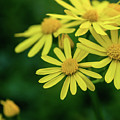 Yellow Flowers by Heather Moore