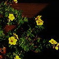 Yellow Flowers In The Sun by Marsha Heiken