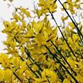 Yellow Flowers by Lauri Novak