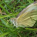 Yellow Fringed Sulphur Butterfly In Grass Blades  Image No 1  Indiana by Rory Cubel
