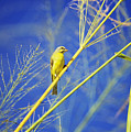 Yellow Fronted Canary by Bob Abraham - Printscapes