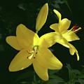 Yellow Garden Lilies by Johanna Hurmerinta