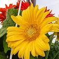 Yellow Gerbera Daisy by Cynthia Woods