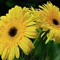 Yellow Gerbera Daisies By Kaye Menner by Kaye Menner