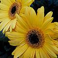 Yellow Gerbera Daisies by James DeFazio