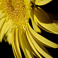 Yellow Gerbera Daisy By Kaye Menner by Kaye Menner